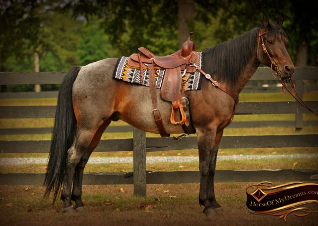 003-Harley-Blue-Roan-AQHA-Gelding-For-Sale