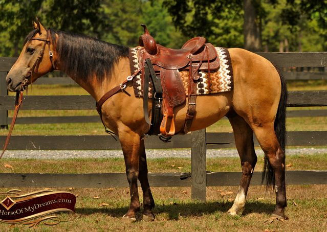 003-Murphy-Buckskin-Quarter-Horse-Gelding-For-Sale