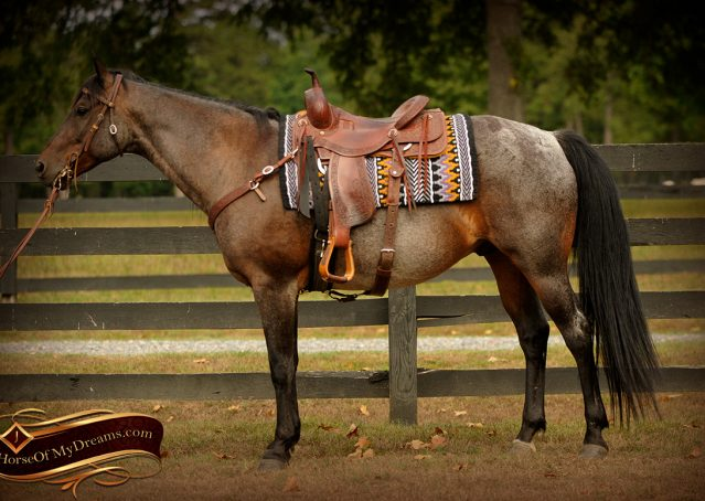 004-Harley-Blue-Roan-AQHA-Gelding-For-Sale