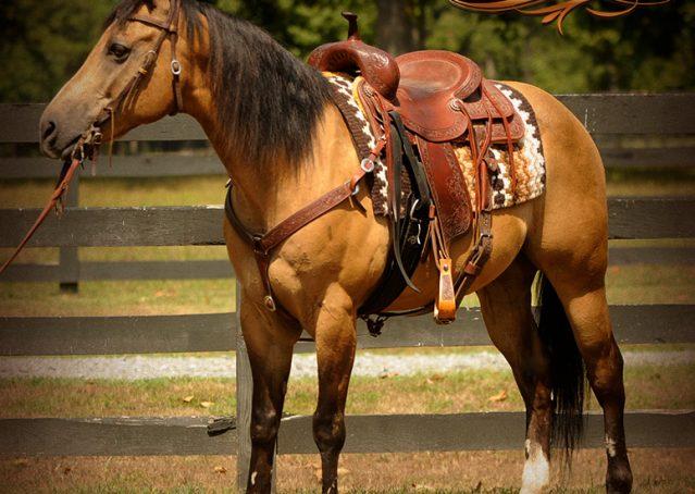 004-Murphy-Buckskin-Quarter-Horse-Gelding-For-Sale
