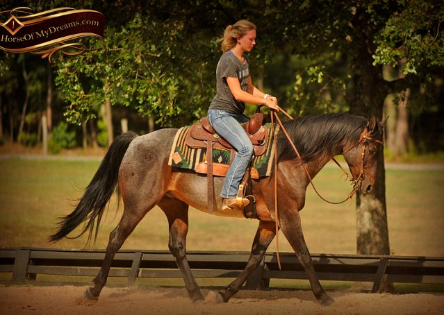 013-Harley-Blue-Roan-AQHA-Gelding-For-Sale