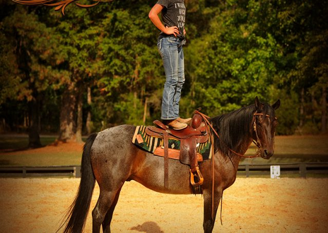 015-Harley-Blue-Roan-AQHA-Gelding-For-Sale