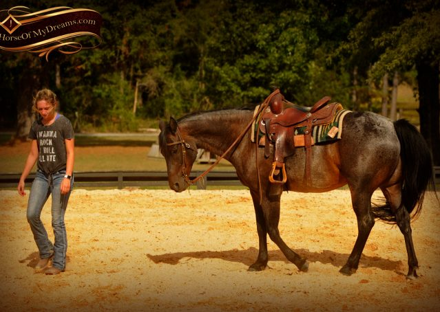 017-Harley-Blue-Roan-AQHA-Gelding-For-Sale
