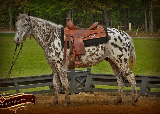 001-Lacota-appaloosa-gelding-for-sale