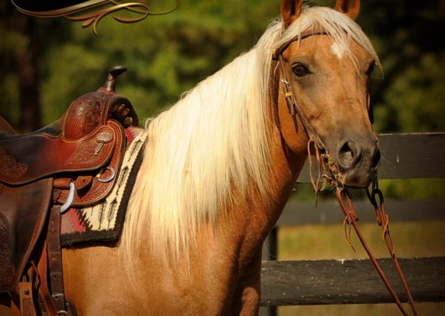 001-Salena-AQHA-Palomino-Mare-For-Sale