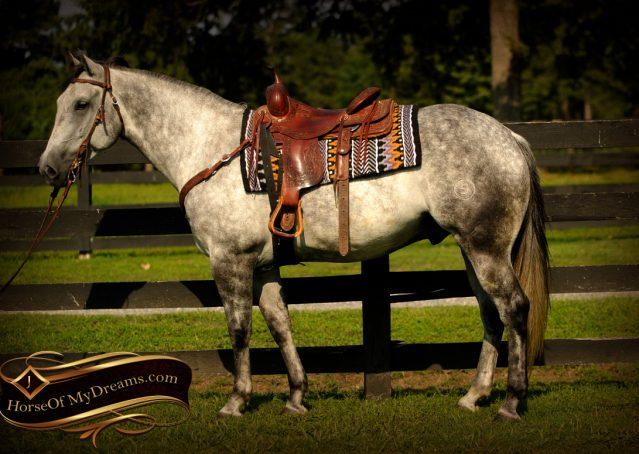 001-Sterling-Gray-Quarter-Horse-Gelding