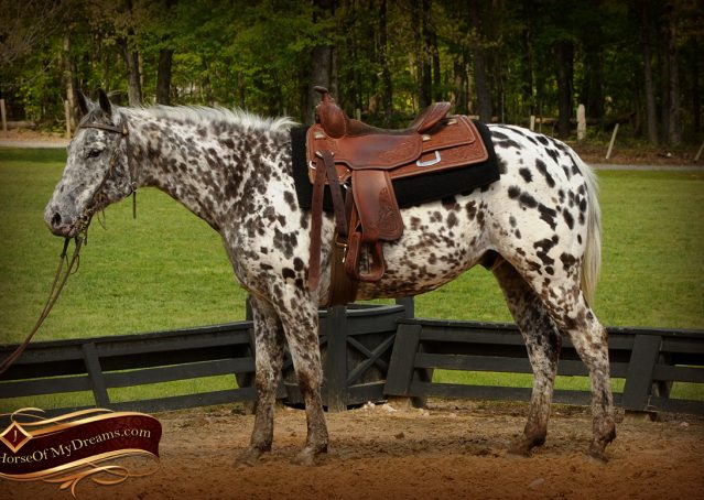 002-Lacota-appaloosa-gelding-for-sale