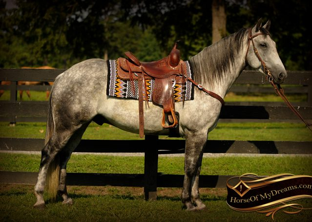 002-Sterling-Gray-Quarter-Horse-Gelding