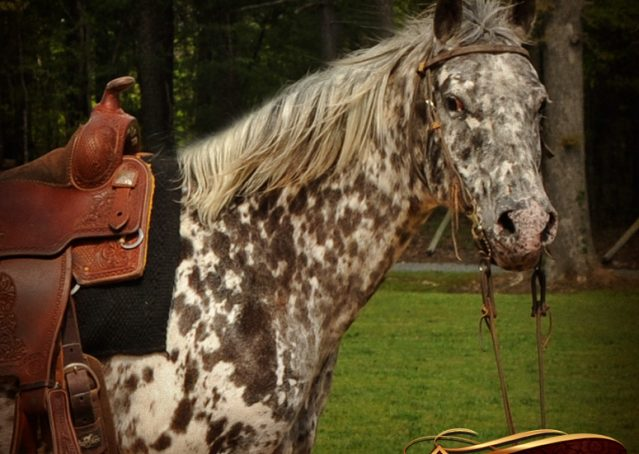 003-Lacota-appaloosa-gelding-for-sale