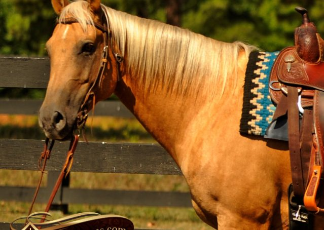 003-Oakley-Palomino-Quarter-Horse-Gelding-For-Sale