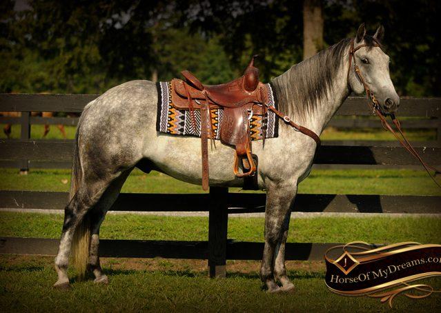 003-Sterling-Gray-Quarter-Horse-Gelding