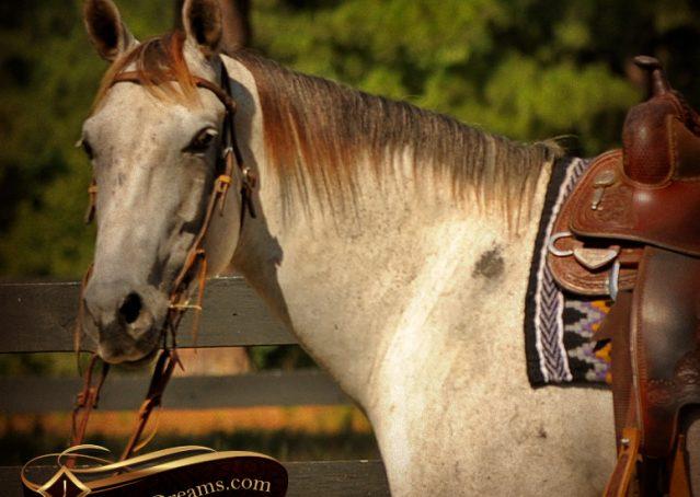 004-Gracie-Gray-Quarter-Horse_Mare-For-Sale