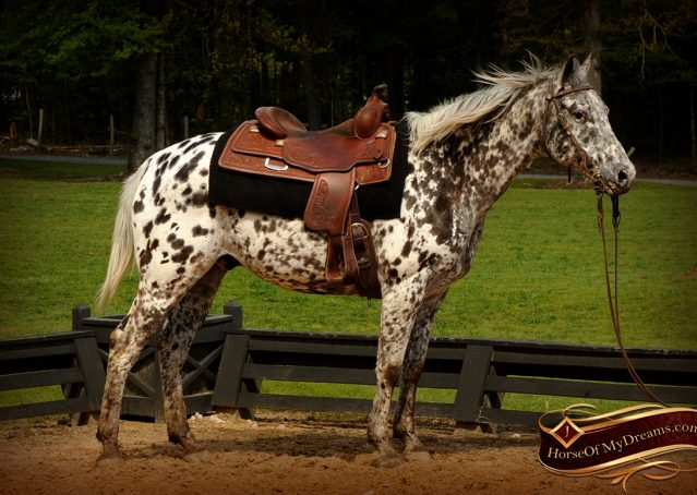 004-Lacota-appaloosa-gelding-for-sale