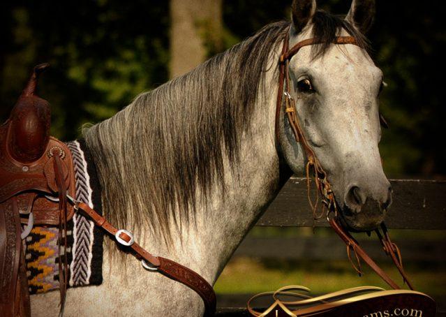 004-Sterling-Gray-Quarter-Horse-Gelding
