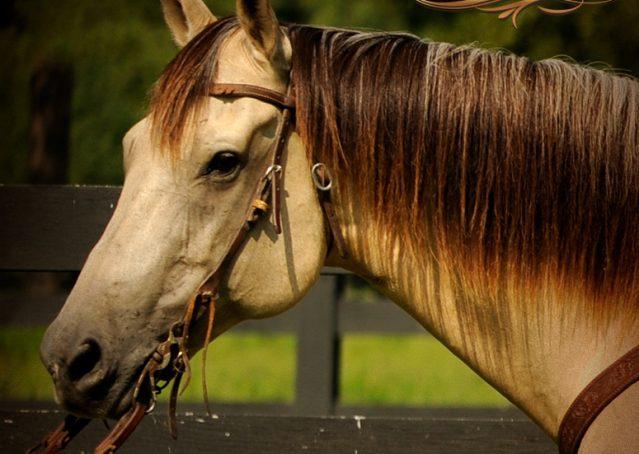 005-Gunsmoke-Buckskin-Quarter-Horse-Gelding