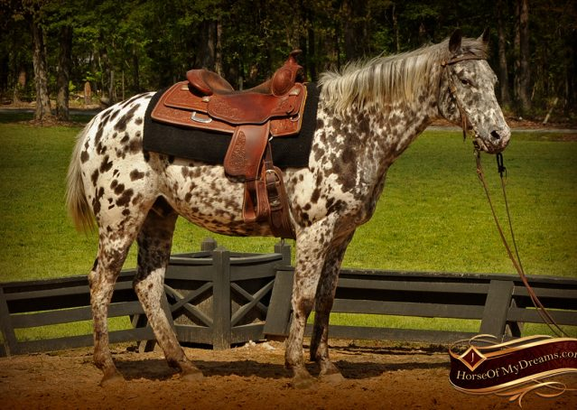 005-Lacota-appaloosa-gelding-for-sale