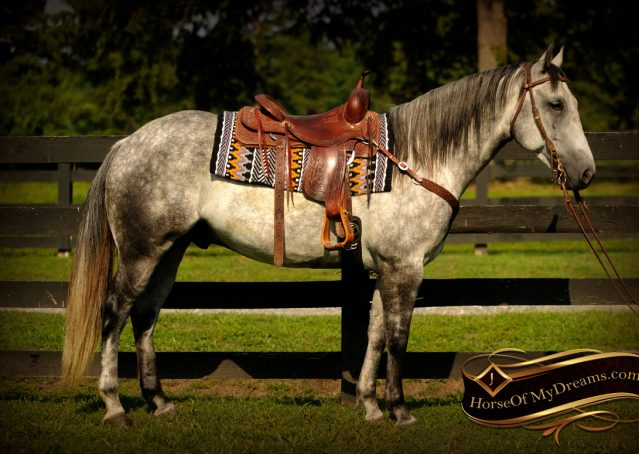 005-Sterling-Gray-Quarter-Horse-Gelding