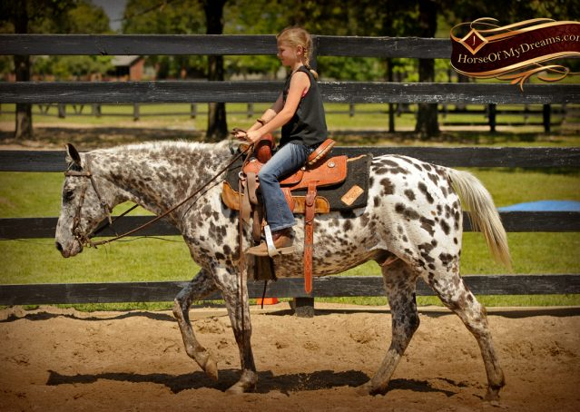 009-Lacota-appaloosa-gelding-for-sale