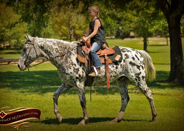 011-Lacota-appaloosa-gelding-for-sale