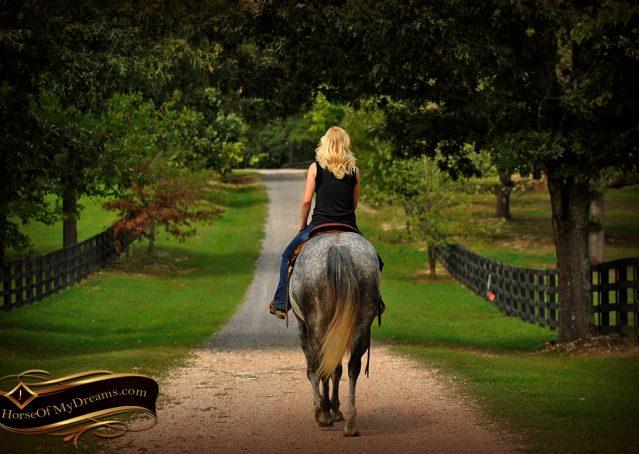 015-Sterling-Gray-Quarter-Horse-Gelding