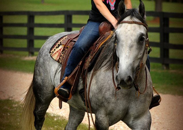 017-Sterling-Gray-Quarter-Horse-Gelding