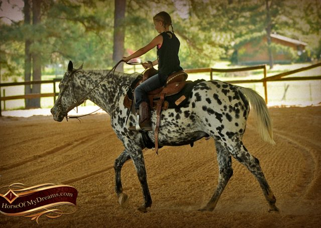 021-Lacota-appaloosa-gelding-for-sale