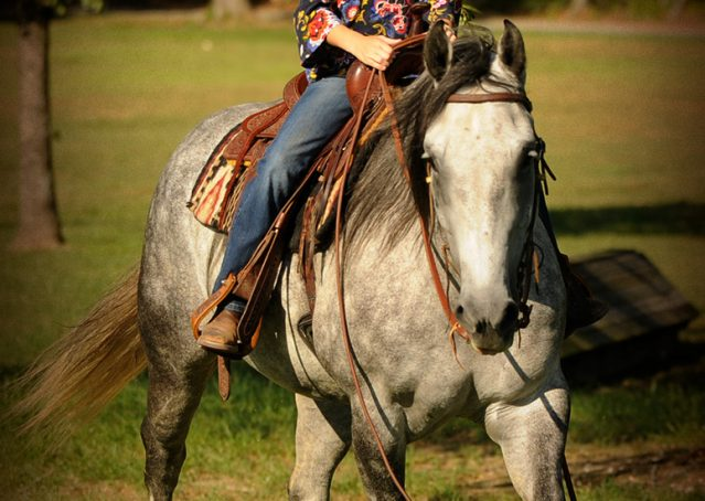 027-Sterling-Gray-Quarter-Horse-Gelding