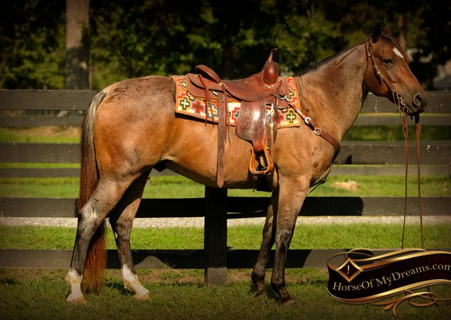 001-Miki-AQHA-Bay-Roan-Gelding-For-Sale