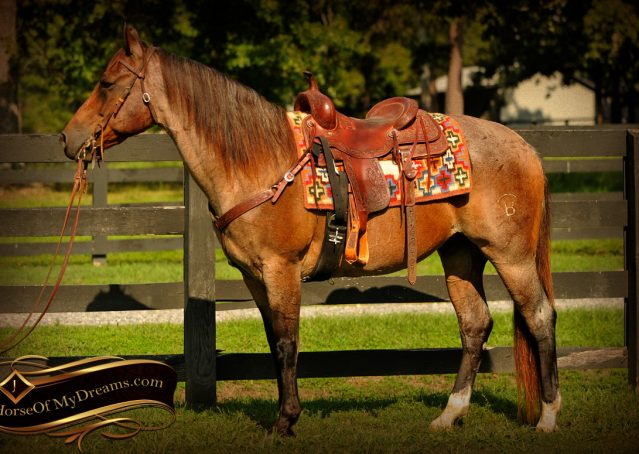 004-Miki-AQHA-Bay-Roan-Gelding-For-Sale