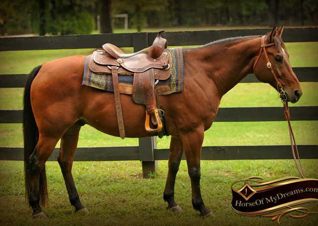 004-Superbowl-Bay-AQHA-Gelding-For-Sale