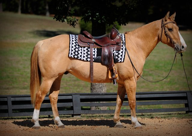 001-Torch-Red-Dun-AQHA-Gelding-For-Sale