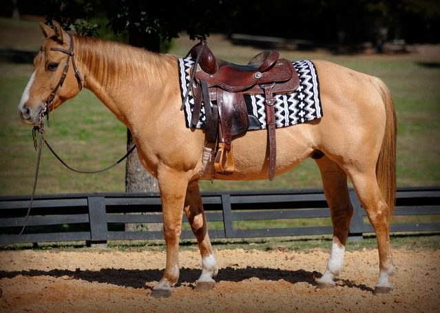 002-Torch-Red-Dun-AQHA-Gelding-For-Sale