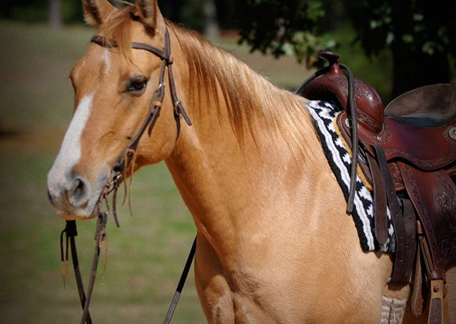003-Torch-Red-Dun-AQHA-Gelding-For-Sale