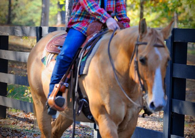 017-Torch-Red-Dun-AQHA-Gelding-For-Sale