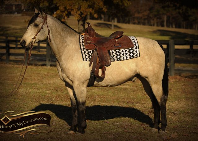 001-Quincy-Buckskin-AQHA-Gelding-For-Sale