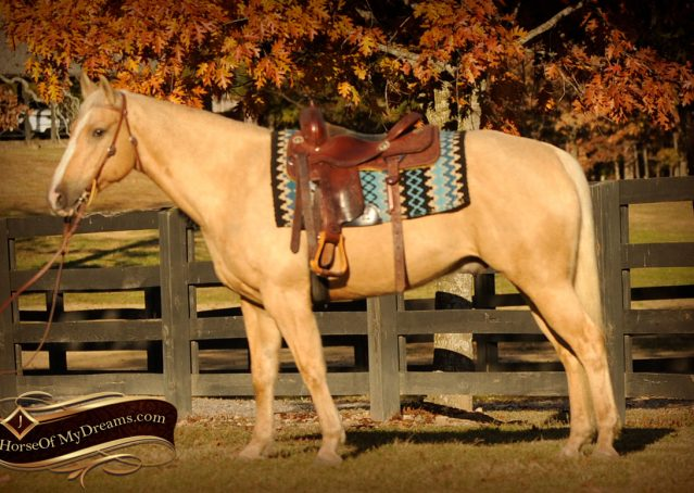 001a-Jessy-AQHA-Palomino-Gelding-For-Sale