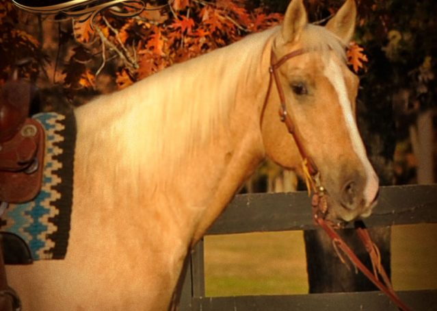 002-Jessy-AQHA-Palomino-Gelding-For-Sale