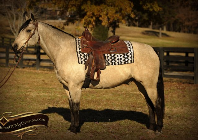 002-Quincy-Buckskin-AQHA-Gelding-For-Sale