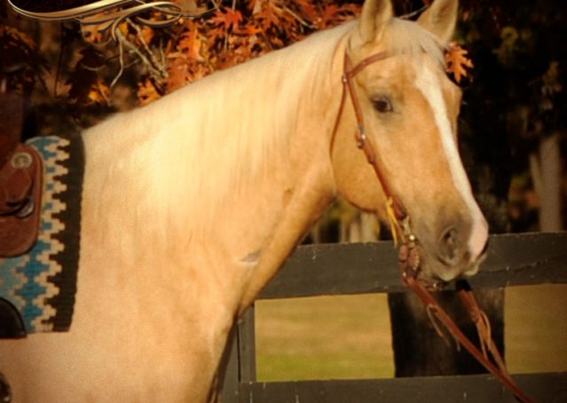 002a-Jessy-AQHA-Palomino-Gelding-For-Sale