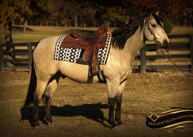 003-Quincy-Buckskin-AQHA-Gelding-For-Sale
