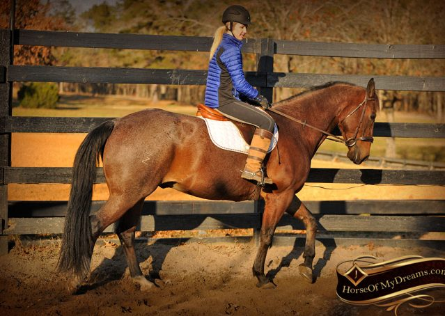 024-Rebel-AQHA-Bay-Roan-Gelding-For-Sale