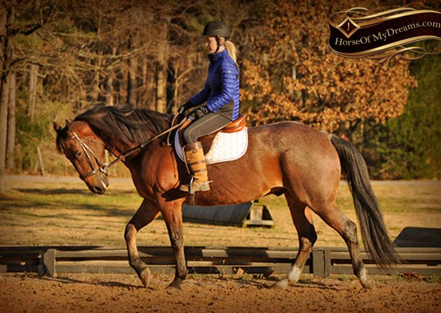 025-Rebel-AQHA-Bay-Roan-Gelding-For-Sale