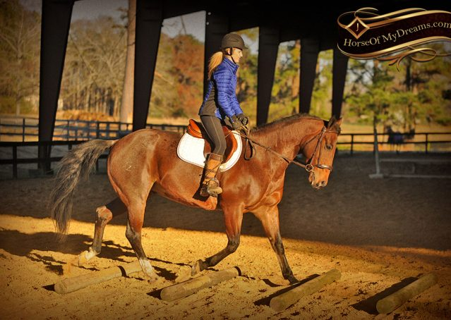 028-Rebel-AQHA-Bay-Roan-Gelding-For-Sale