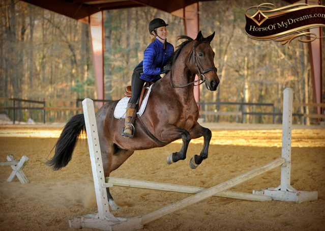 030-Rebel-AQHA-Bay-Roan-Gelding-For-Sale