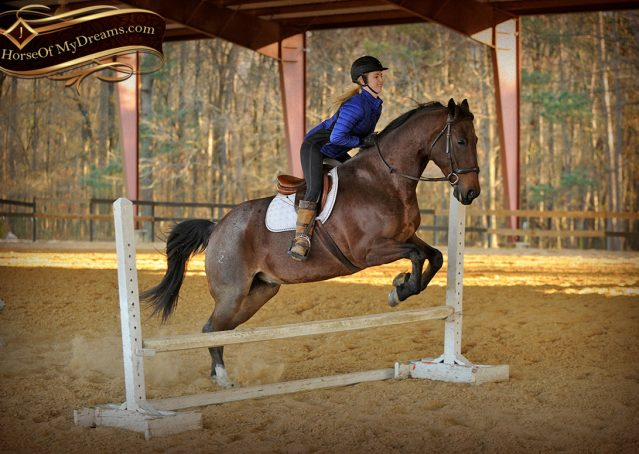 031-Rebel-AQHA-Bay-Roan-Gelding-For-Sale