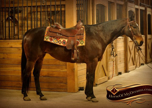 002-Jody-AQHA-Bay-Gelding-For-Sale