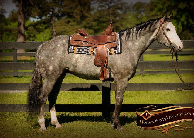 001-Berkley-Gray-Grey-AQHA-Quarter-Horse-Gelding-For-Sale
