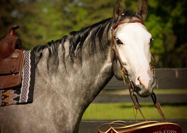 003-Berkley-Gray-Grey-AQHA-Quarter-Horse-Gelding-For-Sale