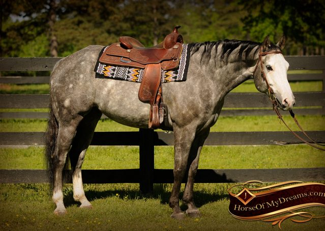 004-Berkley-Gray-Grey-AQHA-Quarter-Horse-Gelding-For-Sale