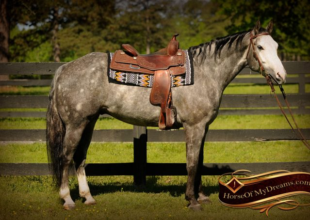 006-Berkley-Gray-Grey-AQHA-Quarter-Horse-Gelding-For-Sale